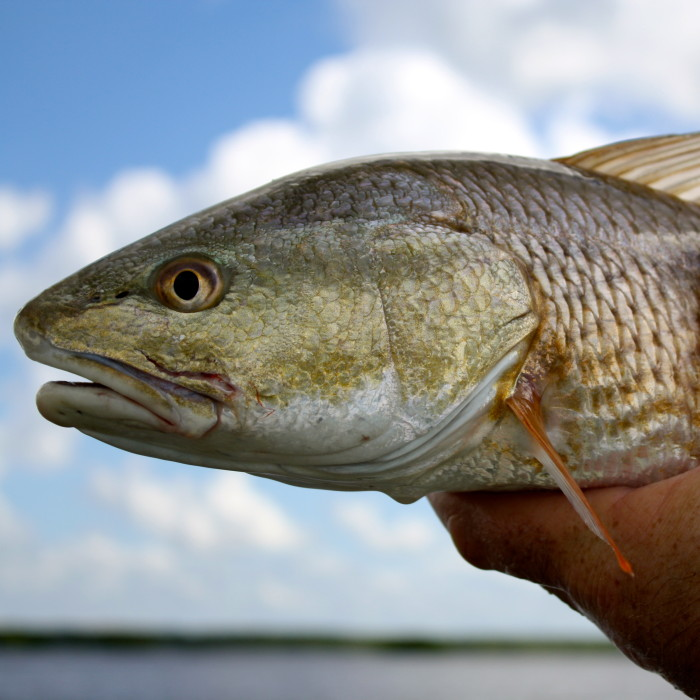 A profile shot of a redfish that was just caught in Estero Bay